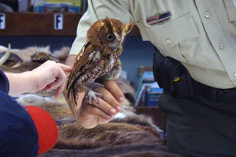 Poncho the Screech Owl